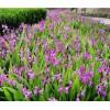 保山隆阳区白芨种植基地:三叉白芨现货、紫花白芨苗出售