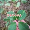 云南滇重楼种子采收方法_重楼种子公司13988959109