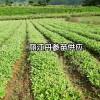 云南丹参苗图_丹参苗产地-云南丽江玉龙县中药材种植户