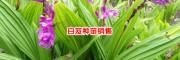 三叉白芨种苗20~30cm1/棵