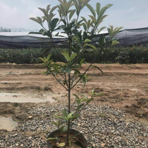 昆明市宜良县李宜苗木种植园[13658868425]