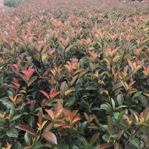 云南红叶石楠小苗价格大约多少钱一棵?扦插技术有哪些?