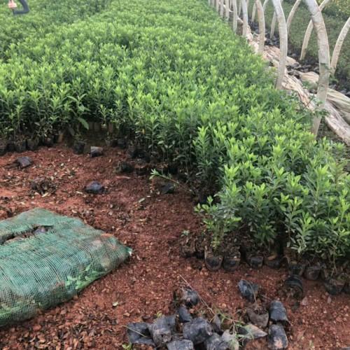 毛鹃树怎么养殖_昆明毛杜鹃李宜苗木种植园