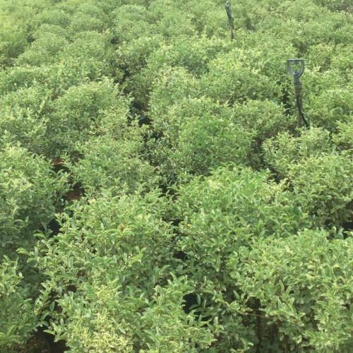 女桢子树亩栽多少棵- 女桢树苗多少钱一颗