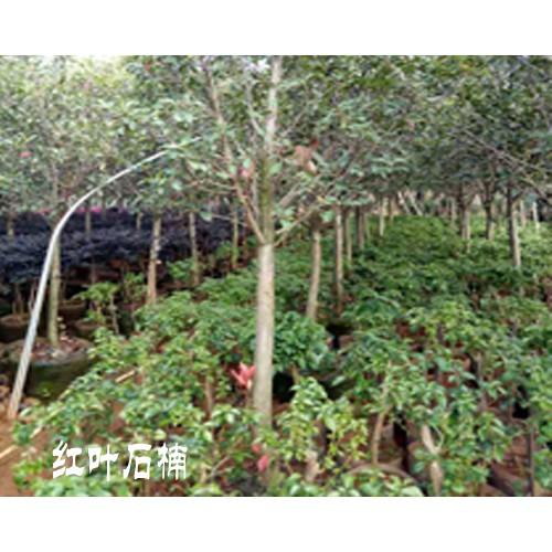 红叶石楠大树_红叶石楠大树价格-15912106912