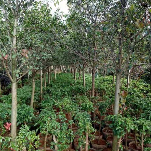 云南红叶石楠高度42公分, 冠幅16多少钱?