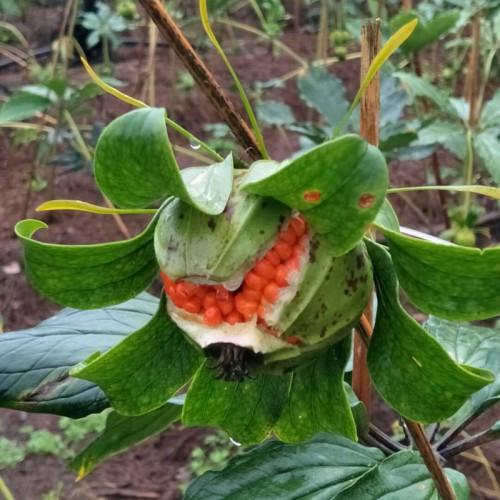 独角莲种子多少一斤- 独角莲怎么种子多少钱一斤