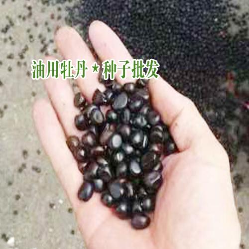 今日油用牡丹种子价格_油用牡丹种植技术指导