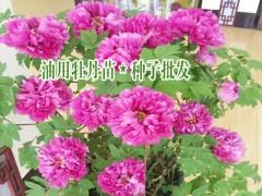 油用牡丹种植优点(特点)_13853049977