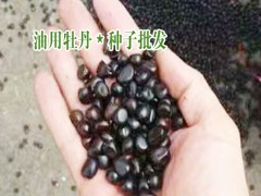 云南油用牡丹_山东油用牡丹_中国林科院对牡丹油介绍