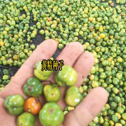 云南昆明市官渡区黄精种苗多少钱?