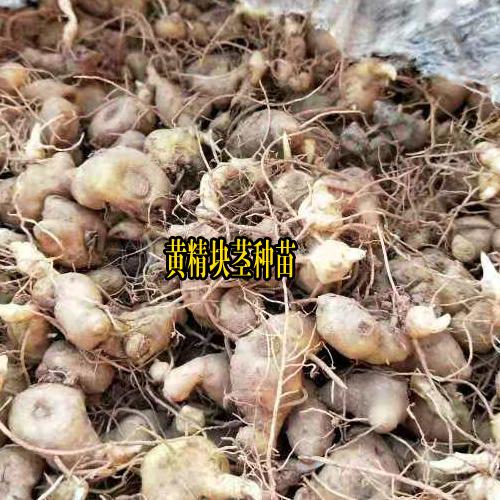 湖南邵阳市洞口县黄精种苗多少钱?