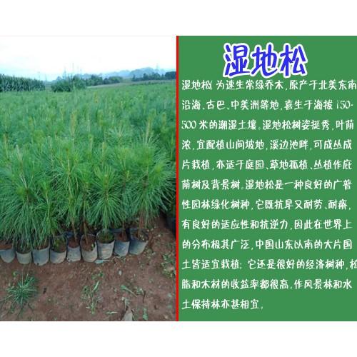 米经3公分湿地松价格表_云南哪里有湿地松
