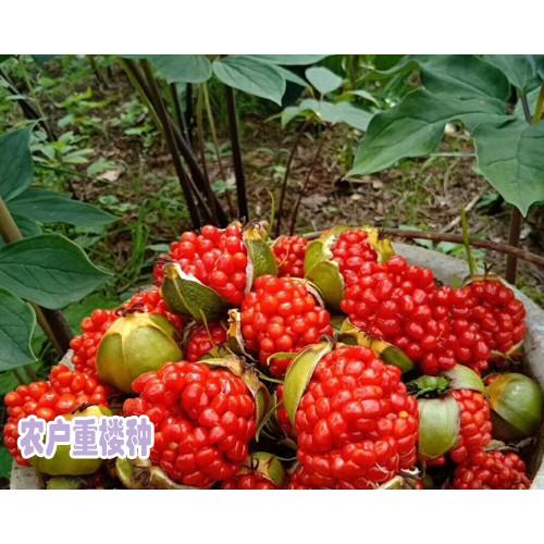 高杆重楼种子销售价格850-900元/公斤 (图片)