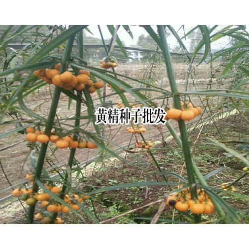 云南黄精种子_昆明滇黄精