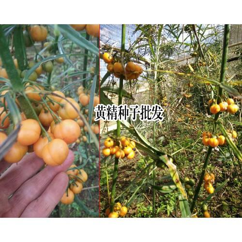 黄精种子价格_成熟黄精种子-13629432168