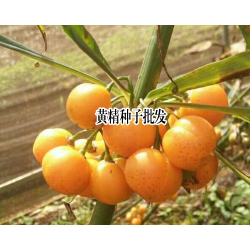 黄精种子_黄精种子价格问题 13629432168