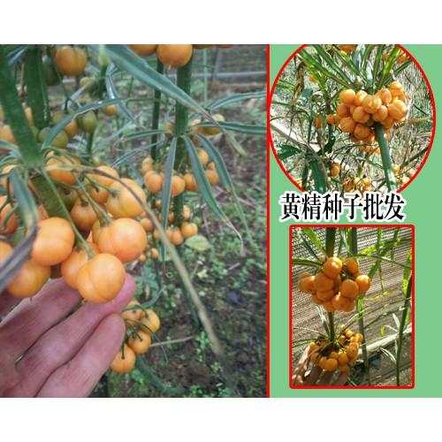 黄精种子什么时候成熟-13629432168