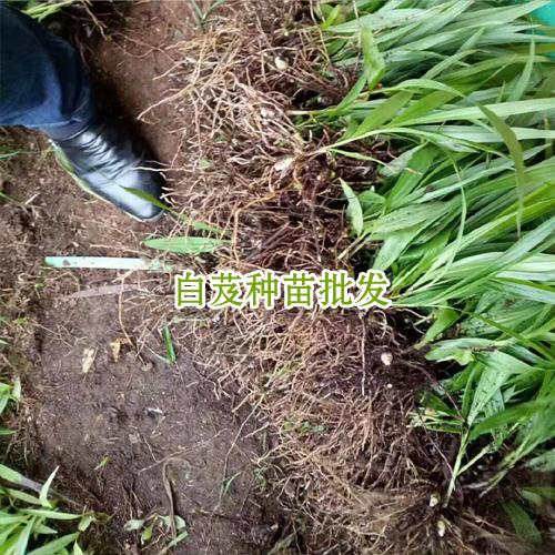 白芨价格表_会泽县思农种植有限公司白芨直播苗