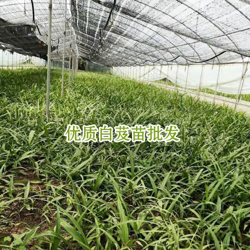 2018白芨(及)苗成本在多少_会泽县思农种植有限公司