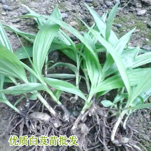 河南白芨种苗价格_15924791418