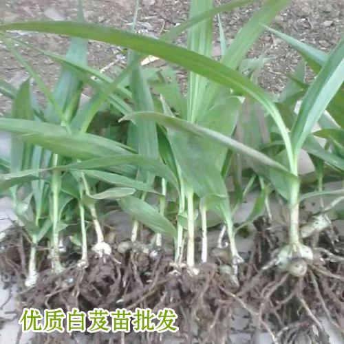云南红河州/曲靖市富源白芨苗销售价格