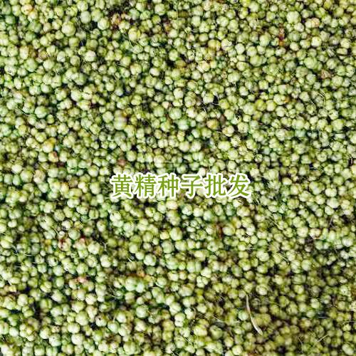 黄精种苗价格表_云南黄精小苗价格网-15924791418