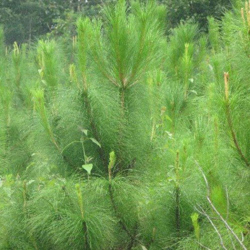 天然林中高产量脂思茅松苗