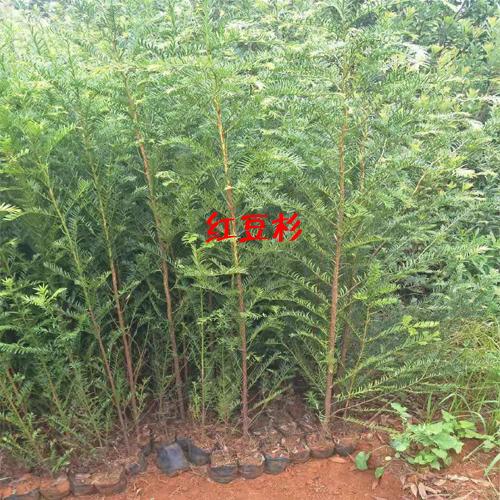 红豆杉苗_红豆杉的种子繁育技术