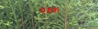 滇桤木苗、旱冬瓜苗、杉木苗