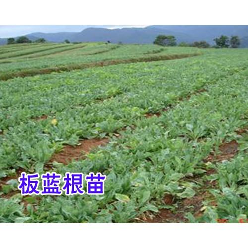 板蓝根种子播种前需要如何处理?