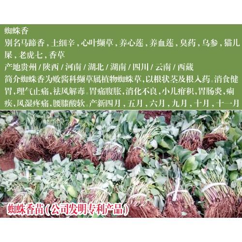 贵州蜘蛛香光货价格_蜘蛛香毛货价格-云南蜘蛛香苗公司