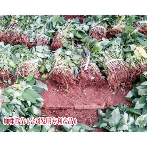 草药蜘蛛香的功效_蛛蛛香治疗_蜘蛛香的种植技术