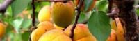 山杏树长什么样_山杏树嫁接什么-