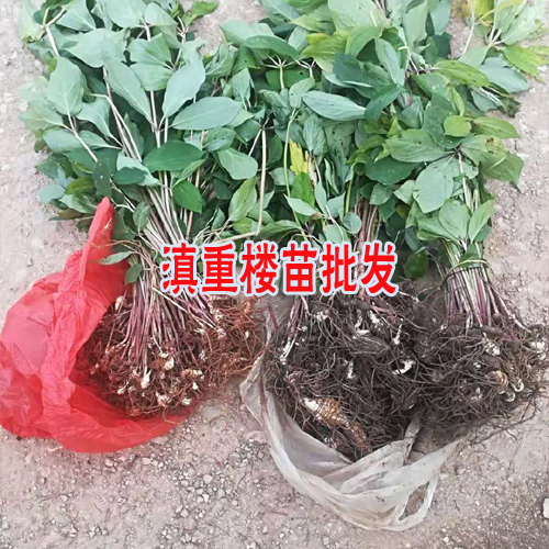 重楼根茎种植的较好季节