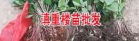 云南昆明/马龙2年滇重楼苗多少钱一棵(附图片)