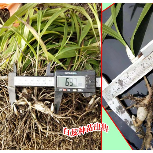 在云南白芨一亩地载多少苗?种植时间