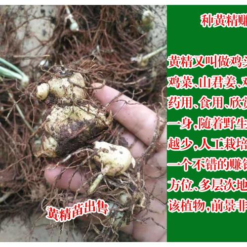 云南红河州建水县黄精种苗--1.5/棵,