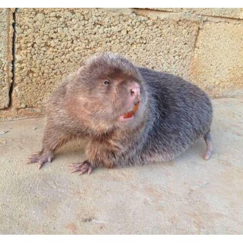 云南竹鼠品种分类: 中华竹鼠,银星竹鼠,花竹鼠,红颊……….