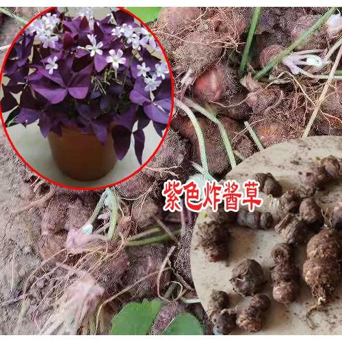 紫色炸酱草怎么盆栽-18936916708