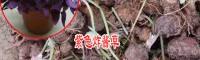 紫色炸酱草图片_紫色炸酱草盆栽图片