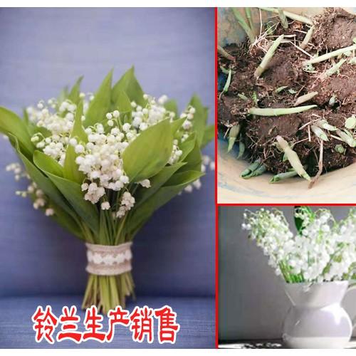 铃兰生种植方法