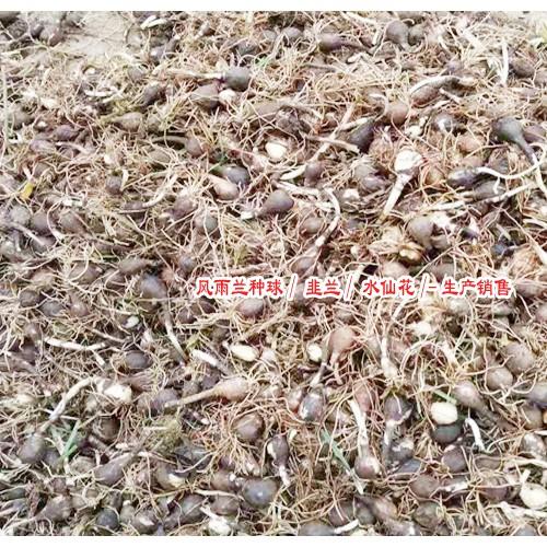 石蒜种/江苏花卉苗木场图片