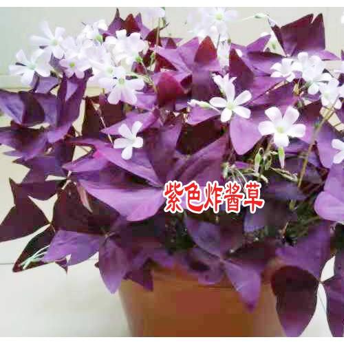 紫色炸酱草图片