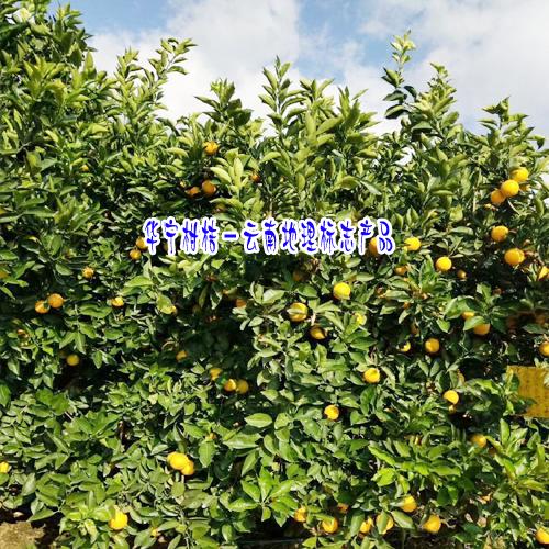 华宁柑桔哪家公司的好?_华宁柑桔种植专业合作社