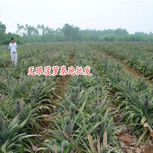 云南无眼菠萝图片大全
