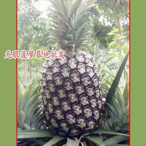 吃菠萝不用挖眼眼_云南无眼菠萝