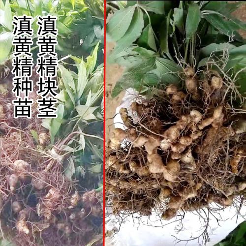 文山,红河附近的滇黄精块茎和苗图片