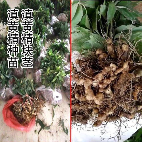 滇黄精块茎_滇黄精块茎种那里有卖-18087630847