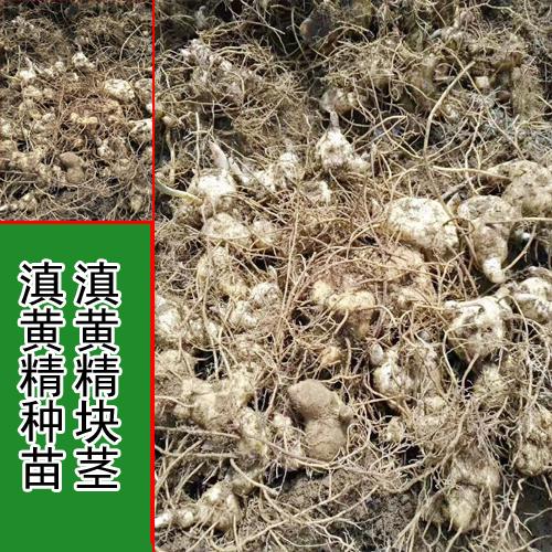 黄精块茎消毒吋间_老黄精块茎会发芽吗_黄精块茎繁殖技术